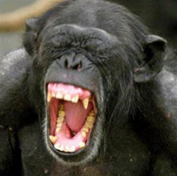 Öskrandi simpansi